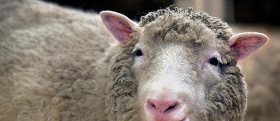 """Dwa tygodnie po obchodach 20-lecia przyjścia na świat pierwszej, sklonowanej owieczki Dolly, naukowcy z Uniwersytetu Nottingham publikują wyniki badań pokazujące, że powstałe po latach z tej samej linii komórek kolejne owce rozwijają się normalnie. Na łamach czasopisma """"Nature Communications"""" opisują przypadek zwierząt o imionach Debbie, Denise, Dianna i Daisy, które skończyły 8 lat w dobrym zdrowiu."""