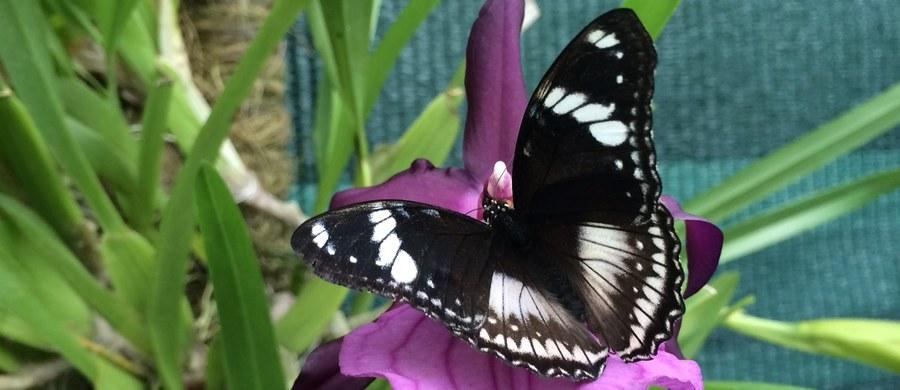 W łódzkiej Palmiarni czynna jest już wystawa egzotycznych motyli. Można zobaczyć Morpho, Caligo czy Papilio. Tłem dla skrzydlatych piękności są żywe kwiaty.