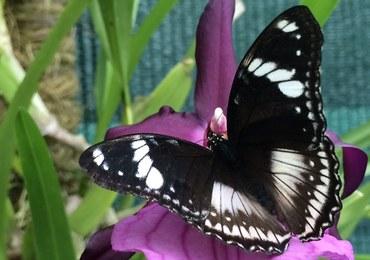 Morpho, Caligo, Papilio. Egzotyczne motyle do zobaczenia w łódzkiej Palmiarni