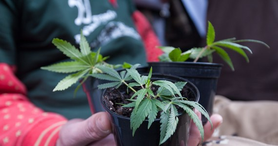 """""""Według dostępnej nam dziś wiedzy nie można powiedzieć, że marihuana leczy nowotwory"""" - przekonują w rozesłanym do mediów oświadczeniu konsultanci krajowi oraz onkologiczne towarzystwa naukowe z całej Polski. Tymczasem w Sejmie jest już projekt ustawy klubu Kukiz'15 pozwalającej pacjentom samodzielnie uprawiać konopie i przygotowywać z nich przetwory na potrzeby terapii."""