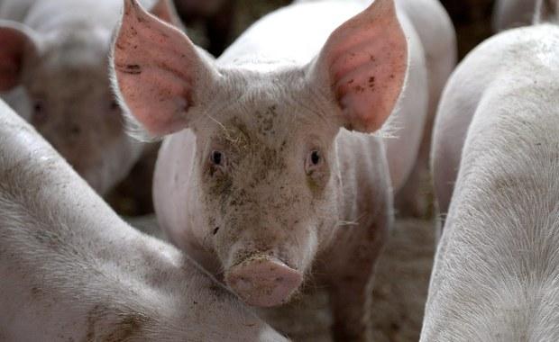Korea Południowa oficjalnie wstrzymała rozmowy na temat importu świń i wieprzowiny z Polski - dowiedział się reporter RMF FM, Krzysztof Zasada. Praktycznie stanęły także negocjacje z Japonią w tej sprawie. Powodem jest wykrycie w naszym kraju kilkunastu ognisk afrykańskiego pomoru świń (ASF) u zwierząt hodowanych w gospodarstwach.