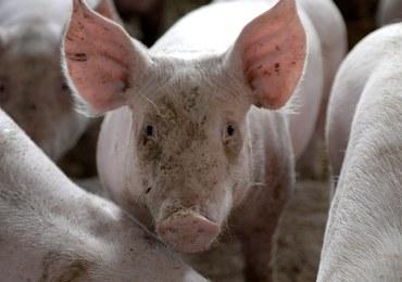 Poważne problemy polskich dostawców świń i wieprzowiny. Wszystko przez ASF