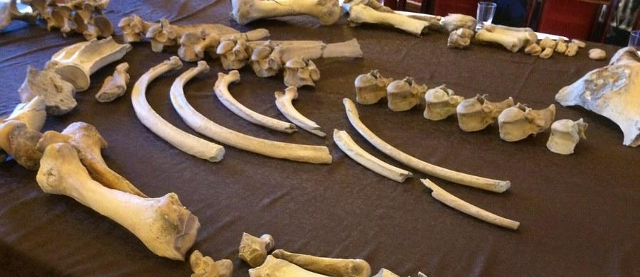 Stefan lub Stefania - tak ochrzczono liczącego ponad 100 tysięcy lat nosorożca, którego szczątki latem odnaleziono na budowie drogi ekspresowej koło Gorzowa Wielkopolskiego. Badanie kości potrwa nawet kilka lat - przyznają naukowcy z Uniwersytetu Wrocławskiego, którzy dziś zaprezentowali oczyszczoną część odkrycia.