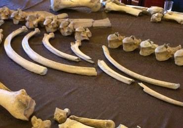 Kości nosorożca sprzed 100 tys. lat znalezione podczas budowy drogi. Ich badanie potrwa kilka lat