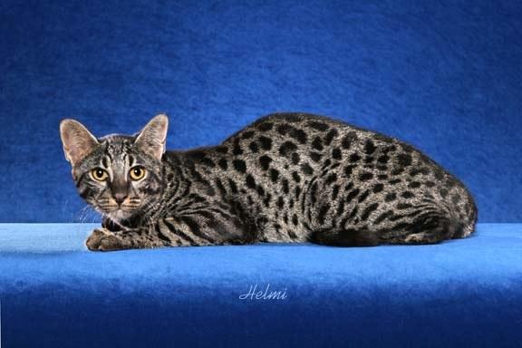 /safari-cats.com /INTERIA.PL