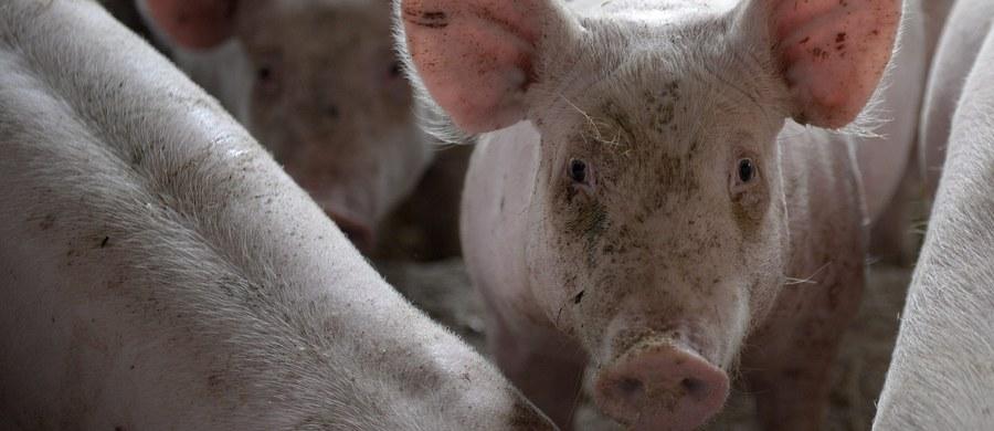 Prawie dwukrotnie wzrosła strefa, z której polscy rolnicy nie będą mogli sprzedawać świń i wieprzowiny na unijny rynek - dowiedział się reporter RMF FM. Taka decyzja zapadła po pojawieniu się kilku przypadków afrykańskiego pomoru świń u dzików w okolicach Moniek na Podlasiu.
