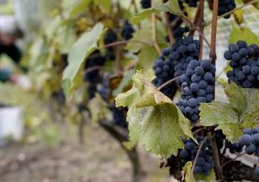 W Polsce jest coraz więcej winnic