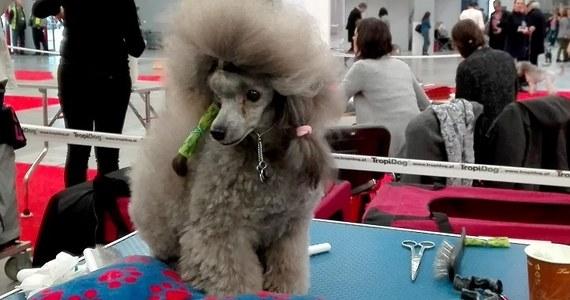 12 i 13 listopada w Kielcach odbywa się Międzynarodowa Wystawa Psów Rasowych. Na ringu prezentuje się ponad 5,5 tysiąca czworonogówponad 230 ras. Obejrzeć można m.in. yorki, harty, psy pasterskie czy wyżły. Są także rasy mało popularne w Polsce.