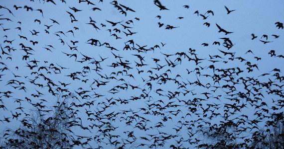 Około pół tysiąca martwych ptaków znaleziono w weekend w Parku Solankowym w Inowrocławiu. Służby weterynaryjne wykluczyły już, że to wynik wirusa ptasiej grypy.