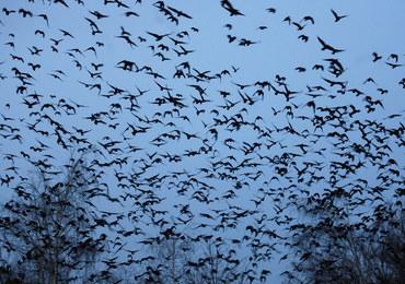 Pół tysiąca martwych ptaków w inowrocławskim parku