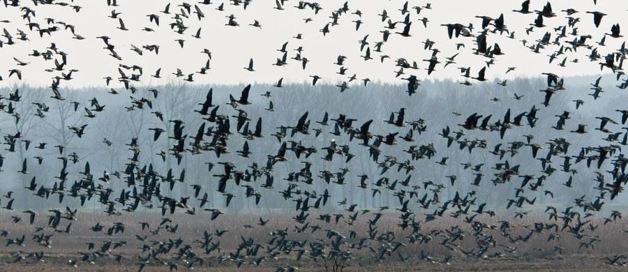 Inowrocławska prokuratura i policja wyjaśniają przyczyny masowego padnięcia gawronów i kawek w Parku Solankowym w Inowrocławiu. Wykluczono ptasią grypę. Wszystko wskazuje, że około 600 ptaków padło w wyniku zatrucia pokarmowego. Nie wiadomo jednak, jak do niego doszło.