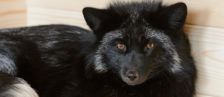 Do poznańskiego zoo trafiły dwa lisy, które uratowano z ferm futrzarskich. Członkowie organizacji Otwarte Klatki przed śmiercią uchronili Cyryla i Ferdynanda.