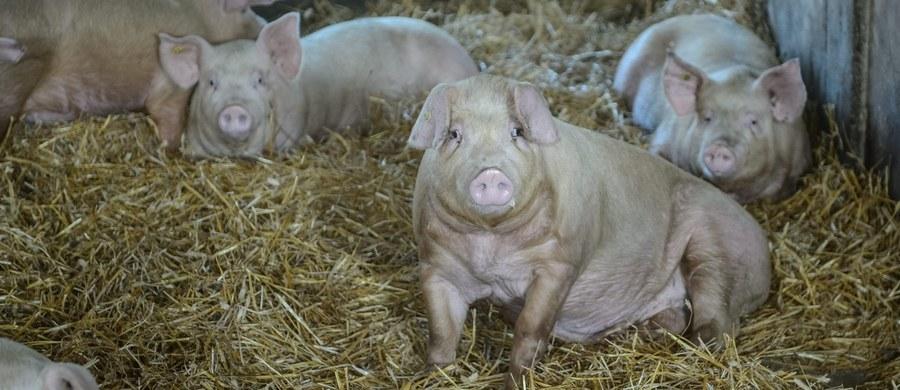 Hodowla świń w Polsce profesjonalna albo żadna. W związku z afrykańskim pomorem świń (ASF) rząd szykuje rewolucję na wsi. Jak dowiedział się reporter RMF FM, Ministerstwo Rolnictwa i Rozwoju Wsi rozszerza obszar zaostrzonych warunków prowadzenia hodowli. W efekcie ma on objąć cały kraj. Celem jest doprowadzenie do likwidacji małych gospodarstw, w których trzymane są świnie - także na własny użytek.
