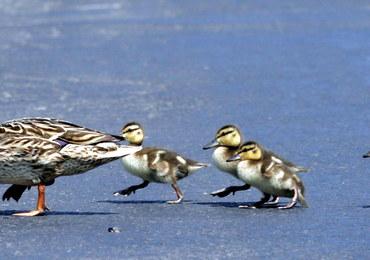 Wirus ptasiej grypy zabił 2 tys. kaczek