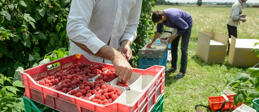Coraz mniej Polaków pracuje sezonowo w Belgii. Coraz częściej zatrudniani są Rumuni. Z tego też względu belgijscy pracodawcy uczą się rumuńskiego.