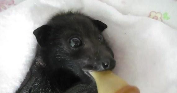 W Australii uratowano opuszczonego przez matkę nietoperza. Zwierzę znalazło już bezpieczne schronienie. Teraz ma opiekuna, który dopilnuje, by niczego mu nie zabrakło.