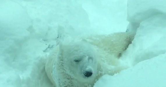Zwierzęta z ogrodu zoologicznego w stanie Oregon w USA doskonale bawią się podczas zimowej aury. Ich ulubionym zajęciem jest wówczas tarzanie się w śniegu. Jak sporty zimowe wyglądają w ich wykonaniu?  Koniecznie zobaczcie!