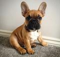 2017-02-07 11_41_32-french bulldog - szukaj w google.png