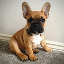 2017-02-07 11_41_32-french bulldog - szukaj w google.png