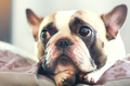 2017-02-07 11_42_18-french bulldog - szukaj w google.png