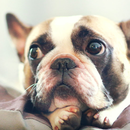 2017-02-07 11_42_18-french bulldog - szukaj w google.png