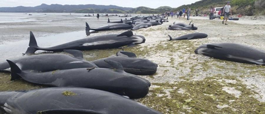 Ponad 400 waleni zostało wyrzuconych na brzeg na należącej do Nowej Zelandii Wyspie Południowej. Około 300 ssaków zginęło. Kilkadziesiąt udało się zaciągnąć do oceanu i uratować. Trwa walka o życie pozostałych zwierząt.