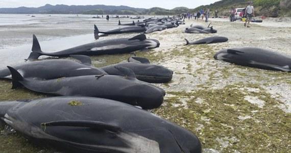 Dalszych 240 waleni zostało wyrzuconych na brzeg należącej do Nowej Zelandii Wyspy Południowej. Wcześniej ratownikom udało się zaciągnąć do oceanu i uratować ok. 100 tych morskich ssaków, ale ponad 300 zginęło.