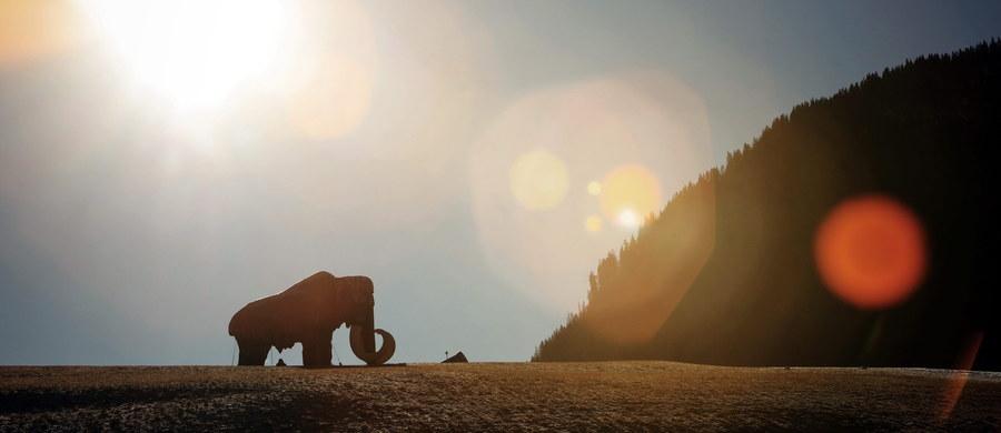 W ciągu dwóch lat, dzięki rozwojowi inżynierii genetycznej, można będzie przywrócić do życia mamuty, a dokładniej: niby-mamuty będące hybrydami słonia i mamuta - czytamy na stronie internetowej amerykańskiego projektu Woolly Mammoth Revival. Naukowcy pracują obecnie nad umieszczeniem mamucich genów w zarodku słonia indyjskiego: później zarodek miałby zostać sztucznie pobudzony do rozwoju.