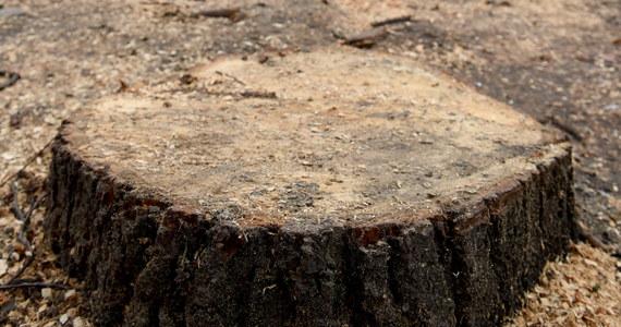 Policja wstrzymała wycinkę drzew w centrum podwarszawskiego Pruszkowa. W tej sprawie interweniowali prawnicy i ekolodzy przypominając, że teren, na którym rozpoczął się wyrąb topoli i olch, należy do Warszawskiego Obszaru Chronionego Krajobrazu.