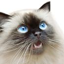 Piękne i dostojne koty himalayan