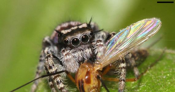 """Nie lubisz pająków? Boisz się ich? Może warto byś zmienić zdanie na ich temat? Szczególnie, jeśli nie przepadasz też za owadami. Najnowsze badania naukowców ze Szwecji i Szwajcarii wskazują, że pająki spełniają niezwykle istotną rolę w ograniczaniu populacji owadów, a ich apetyt jest wprost astronomiczny. Jak pisze w najnowszym numerze czasopismo """"The Science of Nature"""" rocznie pająki zjadają na całym świecie ponad 400 milionów ton owadów. To więcej, niż ludzie zjadają mięsa zwierząt i ryb."""