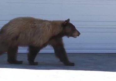 Nietypowe spotkanie na osiedlu: Człowiek wystraszył się niedźwiedzia, a niedźwiedź... człowieka