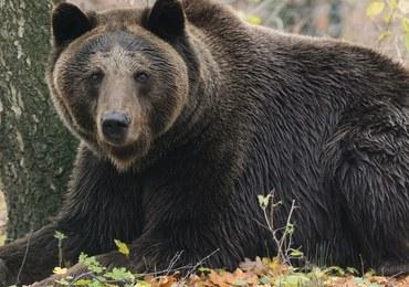 Atak niedźwiedzia w Bieszczadach. Ranny mężczyzna