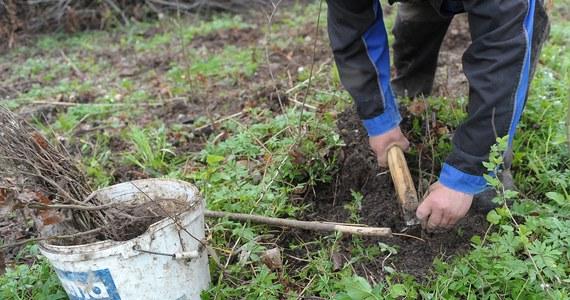 Cztery sadzonki dębu zostały uznane... za oręż w walce z polskim rządem. W Kielcach prezydent miasta zakazał sadzenia drzew. To pokłosie dyskusji o złagodzonych przepisach o wycince.