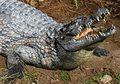 Piłkarz z Mozambiku pożarty przez krokodyla
