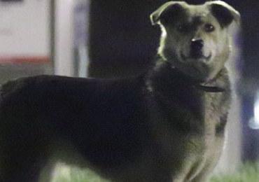 Niezwykła historia psiej uciekinierki. Przebiegła ponad 600 km