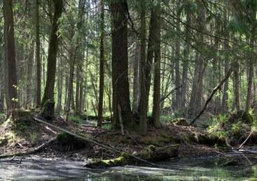 W Puszczy Białowieskiej odkryto kurhany i zarysy dawnych pól