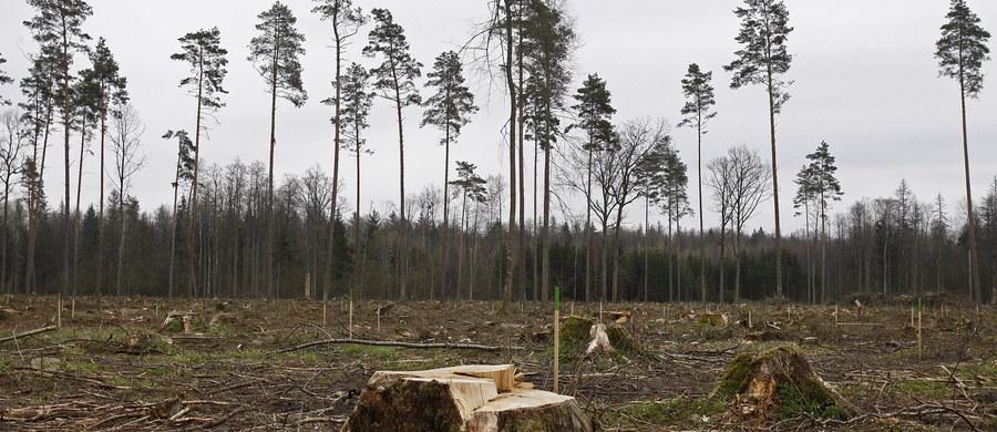 Od 2012 roku, czyli masowego pojawienia się kornika z Puszczy Białowieskiej leśnicy usunęli blisko 157 tys. drzew zasiedlonych przez te owady - poinformowały PAP Lasy Państwowe. Od początku roku wycięto ok. 2,8 tys. chorych drzew.