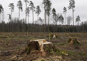 Puszcza Białowieska: Przez 5 lat wycięto 157 tys. drzew zasiedlonych przez korniki