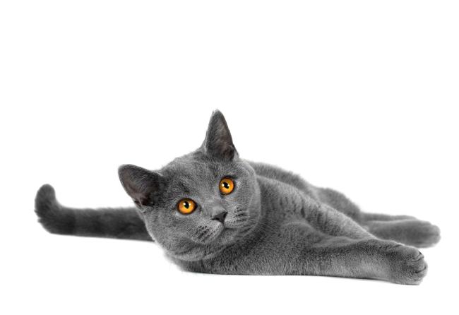 Najsłynniejsze Rasy Kotów Stylpl