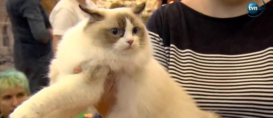 Koty syberyjskie, norweskie leśne, brytyjskie krótkowłose oraz wiele, wiele innych można podziwiać na Międzynarodowej Wystawie Kotów Rasowych w Warszawie.