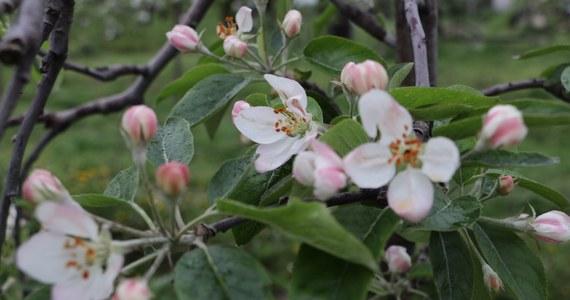 """""""Ten sezon to dla nas katastrofa! Czereśni i jabłek będzie mniej, a ich ceny pójdą w górę"""" - skarżą się sadownicy na Mazowszu. Przed nami są trzy zimne dni z przymrozkami. Na wschodzie kraju temperatura może spaść nawet do -5 stopni."""