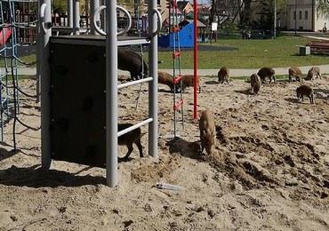 Świnoujście: Dziki upodobały sobie place zabaw. Obok bawiły się dzieci