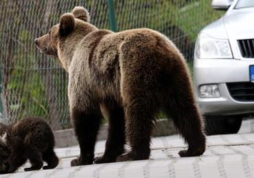 """Polscy specjaliści pomogli Słowakom uporać się z """"upartą"""" niedźwiedzicą"""
