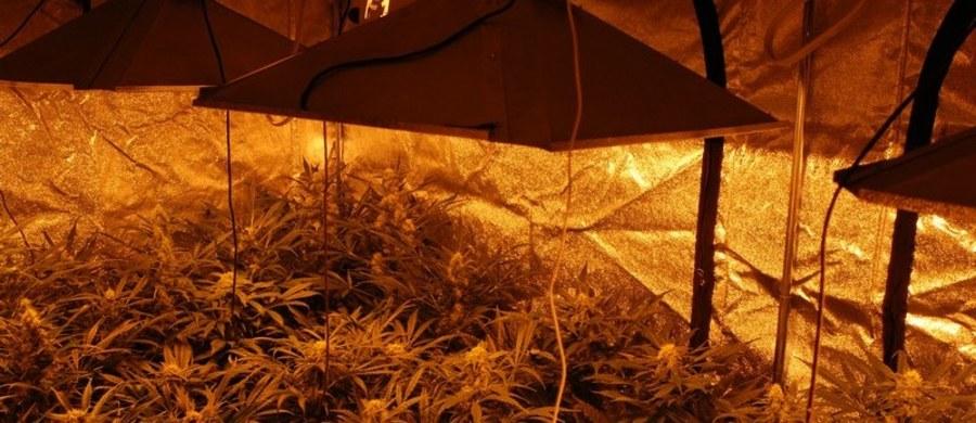 8 kg marihuany i ponad 360 krzewów konopi zabezpieczyli policjanci opolskiego CBŚP podczas likwidacji w pełni profesjonalnej hydroponicznej plantacji w województwie opolskim. W ręce funkcjonariuszy wpadli ojciec z synem, którzy zorganizowali ten proceder. Czarnorynkowa wartość zabezpieczonych gotowych narkotyków i marihuany,którą można uzyskać z krzewów, to ponad 1,2 mln złotych. W Prokuraturze Okręgowej w Opolu mężczyźni usłyszeli już zarzuty związane z wytwarzaniem, posiadaniem i handlem znaczną ilością narkotyków. Grozi im do 12 lat więzienia. Obaj zostali tymczasowo aresztowani.