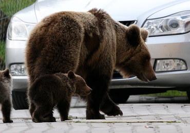 Odstrzał niedźwiedzicy Ingrid był konieczny? Kilkanaście tysięcy Słowaków domaga się wyjaśnień