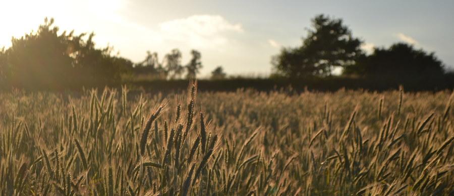 """Jest decyzja unijnych instytucji w sprawie dodatkowych, bezcłowych kwot dla Ukrainy. Kijów podwoi swój dotychczasowy bezcłowy eksport kukurydzy i jęczmienia oraz zwiększy eksport pszenicy, owsa, pomidorów przetworzonych i miodu. """"To bardzo niedobra wiadomość dla polskich rolników"""" - ocenił w rozmowie z RMF FM prezes Krajowej Rady Izb Rolniczych Wiktor Szmulewicz. Dodał, że """"ukraińskie kontyngenty w pierwszej kolejności trafiają do Polski - mogą zdestabilizować rynek""""."""