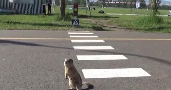"""W rosyjskim Krasnojarsku powstały specjalne przejścia przez jezdnię dla susłów. Okolice miasta obfitują w te gryzonie. Oznaczenia na jezdni mają zwrócić uwagę mieszkańców Krasnojarska na przebiegające przez chodnik i ścieżkę rowerową susły. Na tzw. """"polanie susłów"""" w Krasnojarsku mieszka przeszło 5000 tych zwierząt."""
