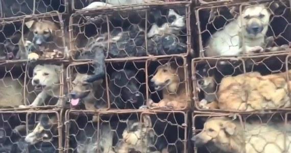 Chińscy aktywiści uratowali prawie tysiąc psów i kotów. W bestialskich warunkach zwierzęta jechały na rzeź do prowincji Guangdong. Wszystko odbywało się tuż przed festiwalem psiego mięsa. Obrońcy praw zwierząt zatrzymali ciężarówkę i od razu przystąpili do wyciągania z niej skrzynek z wycieńczonymi psami i kotami. W akcji uczestniczyło ponad 100 osób.