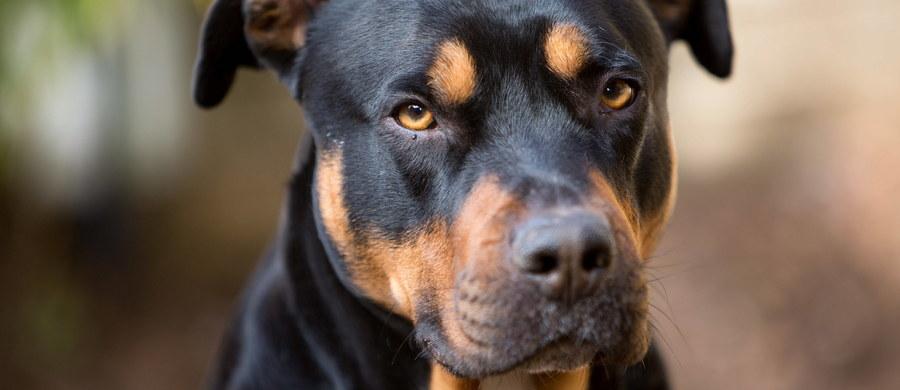 Kryminalni z Goleniowa zatrzymali 43-letniego mężczyznę, który znęcał się nad psem sąsiadki, zadając mu ciosy szpadlem. Sprawca usłyszał zarzut i trafił na 3 miesiące do aresztu. Grozi mu do 2 lat więzienia. Policjanci zostali powiadomieni przez kobietę, która oświadczyła, że w jednej z miejscowości w gminie Goleniów, sąsiad brutalnie pobił jej psa.